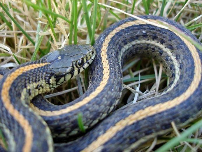 Garden snake photo for What do baby garden snakes eat