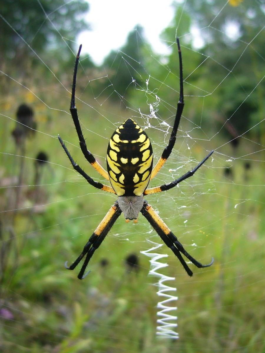 Black And Yellow Garden Spider Photo