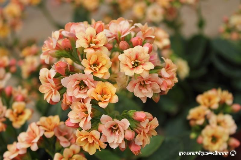 Kalanchoe flower (33), Click here to view full-size photo...