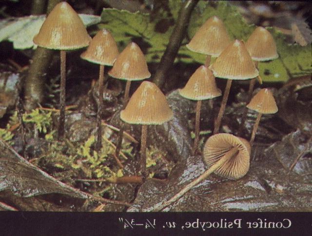 psilocybin mushroom identification guide pdf