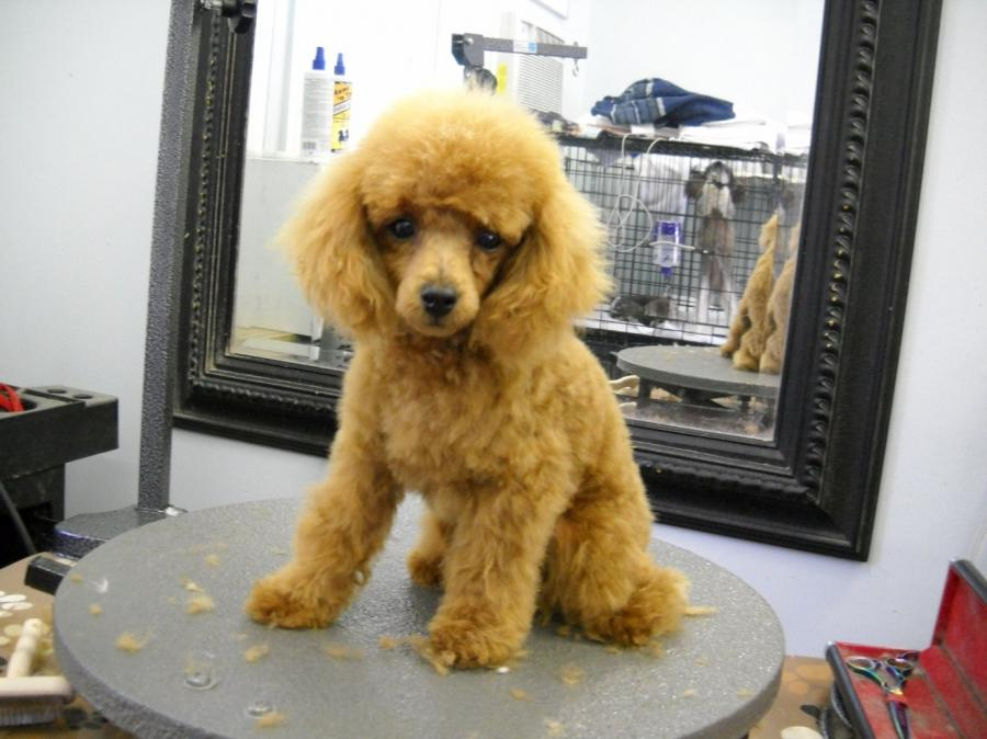 Miniature Poodle Grooming Photos