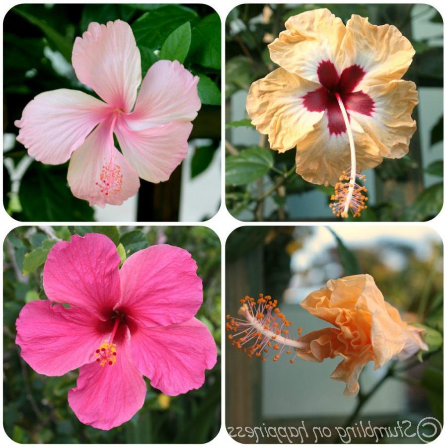 Flower jamaica photo hibiscus flowers izmirmasajfo