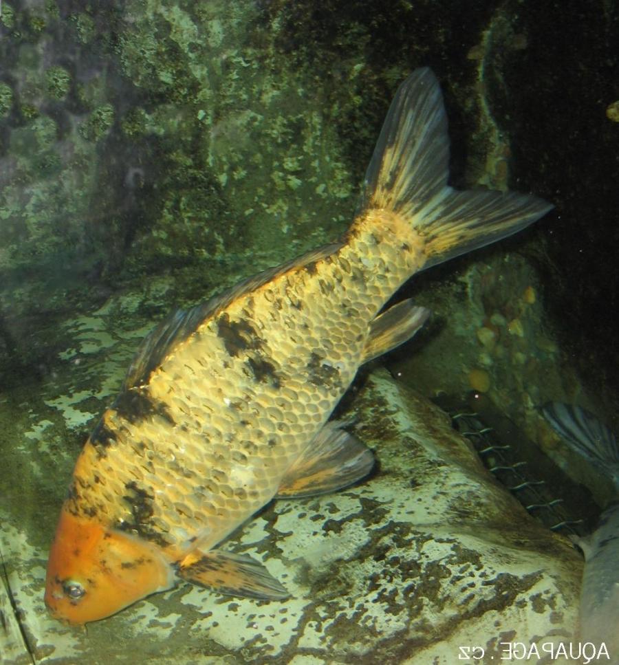 Aquarium fish profiles photos for Carpe koi aquarium
