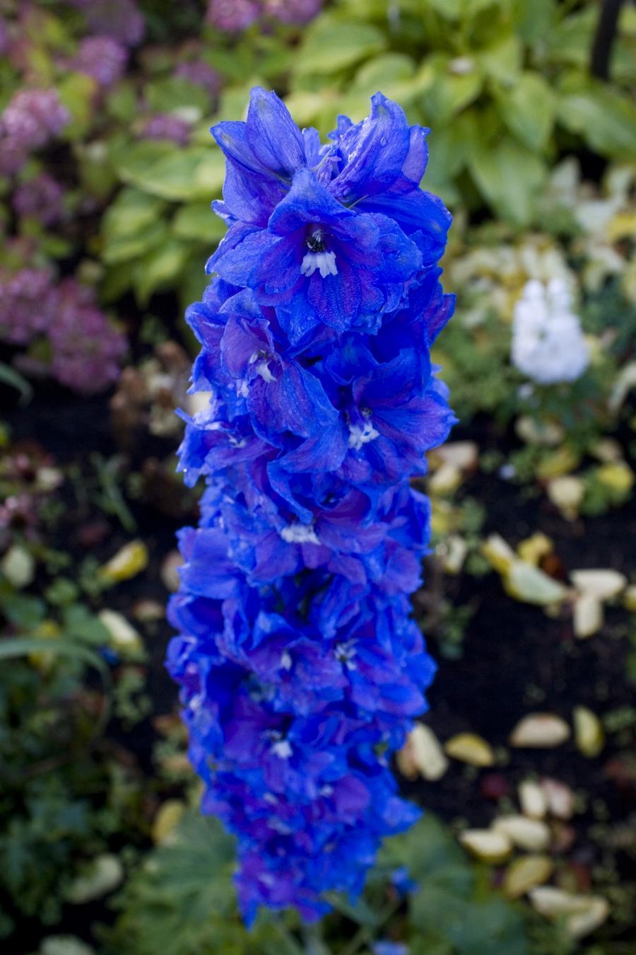 Blue Flowers Names Photos
