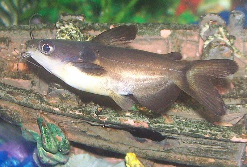 Aquarium Catfish Photos