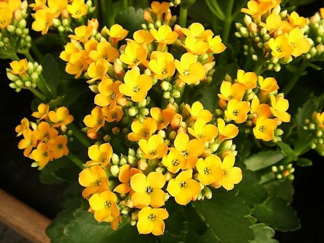... A Yellow Flowering Kalanchoe in Bloom