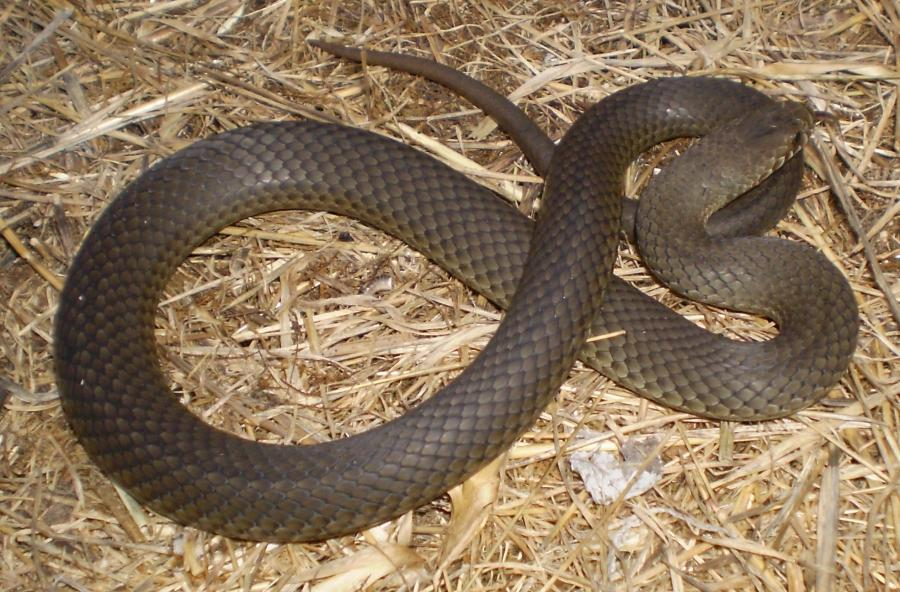 Australian Carpet Snake Photos