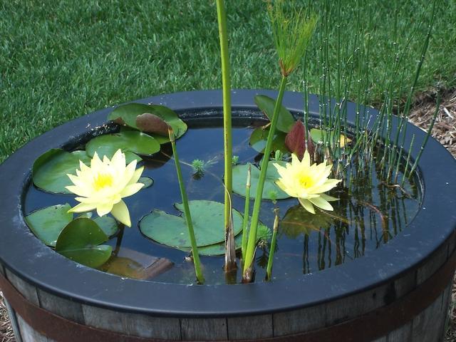 Лилия для пруда своими руками
