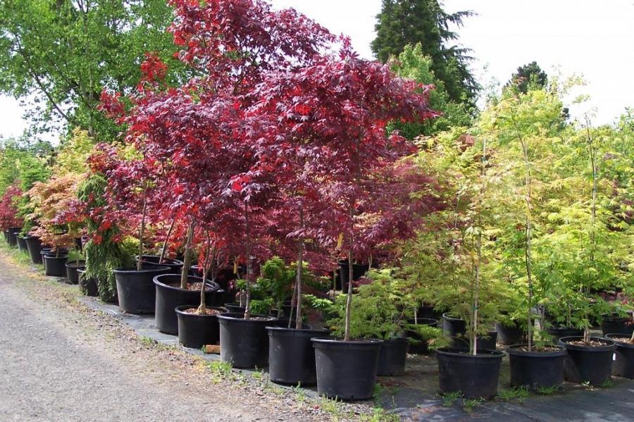 Japanese Maple Garden Photos