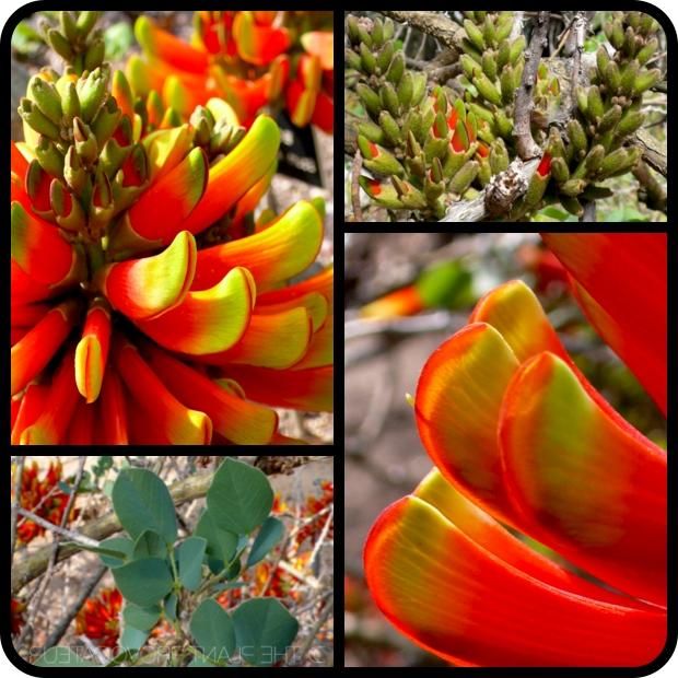 erythrina flower photos