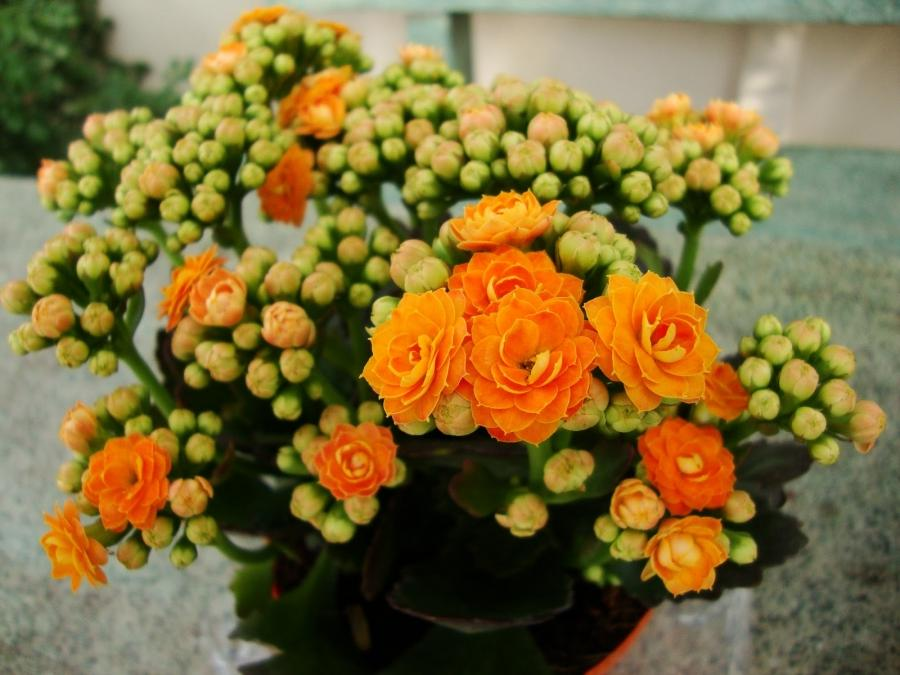 Flowering outside of the forced greenhouse conditions that...