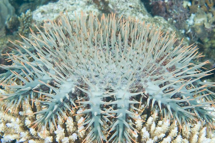 Paradise House Reef, Taveuni, Fiji; a crown-of-thorns starfish...