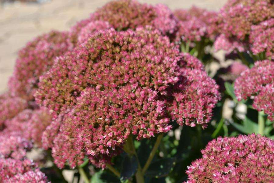 Perennial Flower Photo