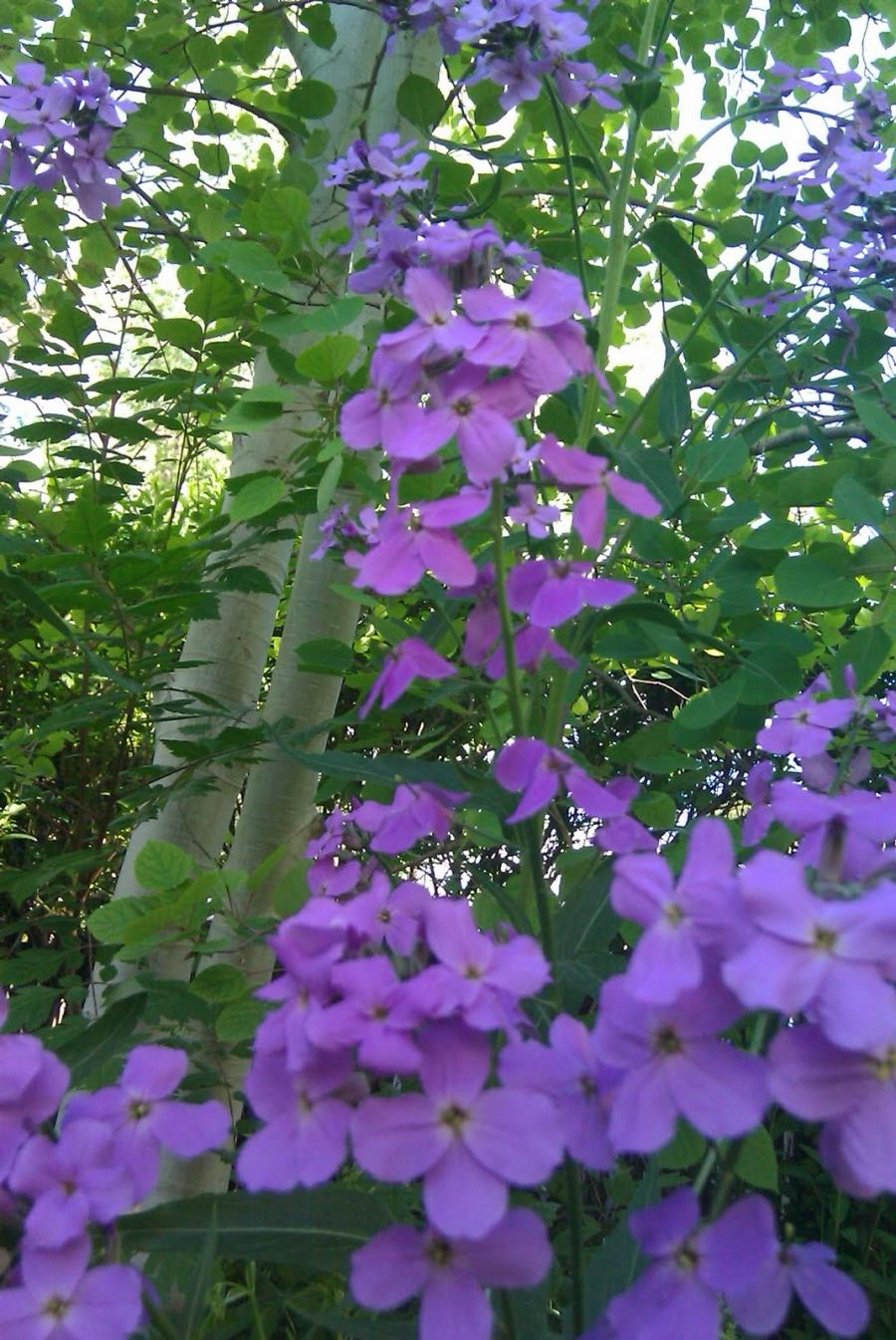 Weeds Purple Flowers Photos
