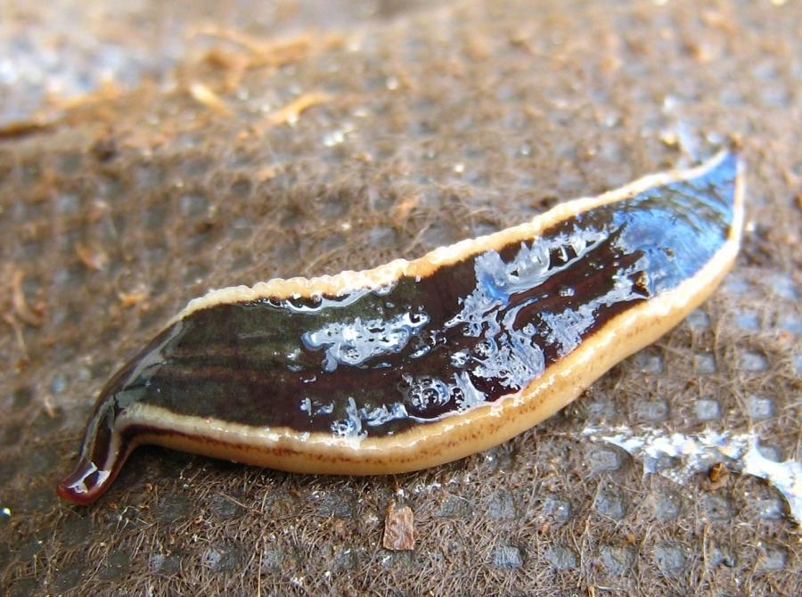 File:NZ Flatworm.JPG
