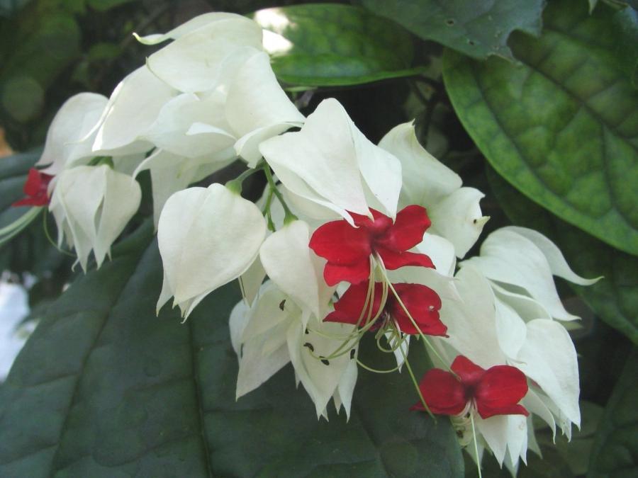 Комнатный цветок цветет белыми колокольчиками 57