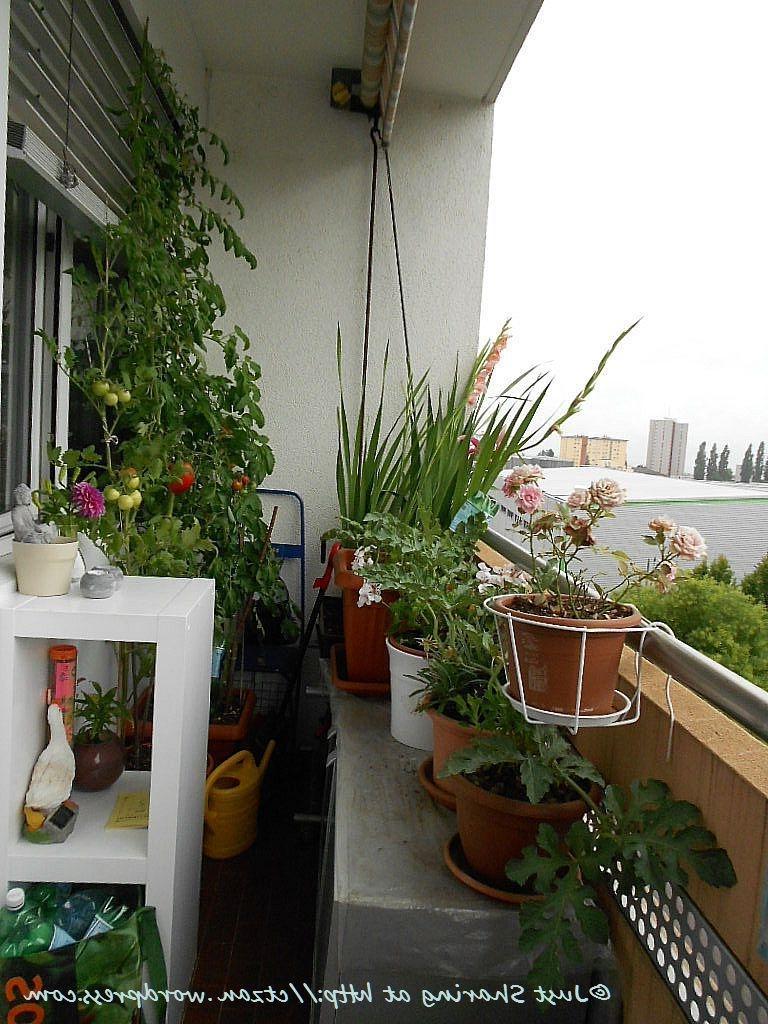 Выращивание помидоров в открытом грунте и на балконе :: syl..