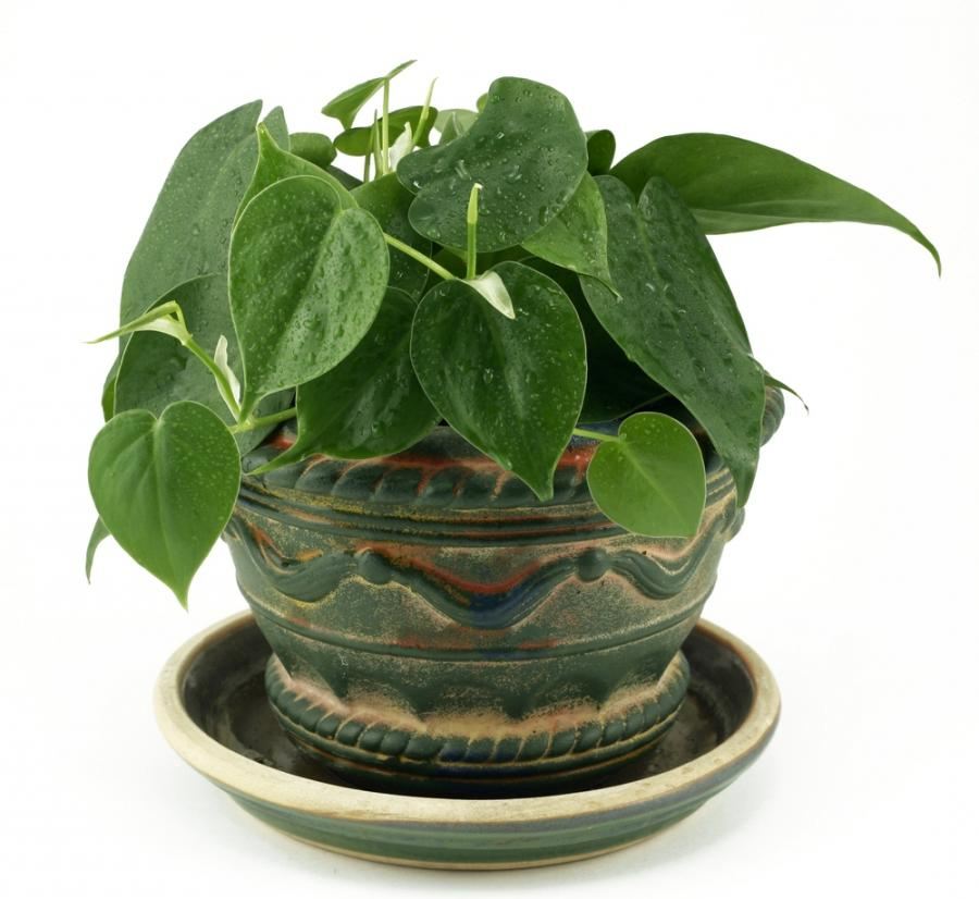 Common hanging house plants photos - Common indoor plants ...