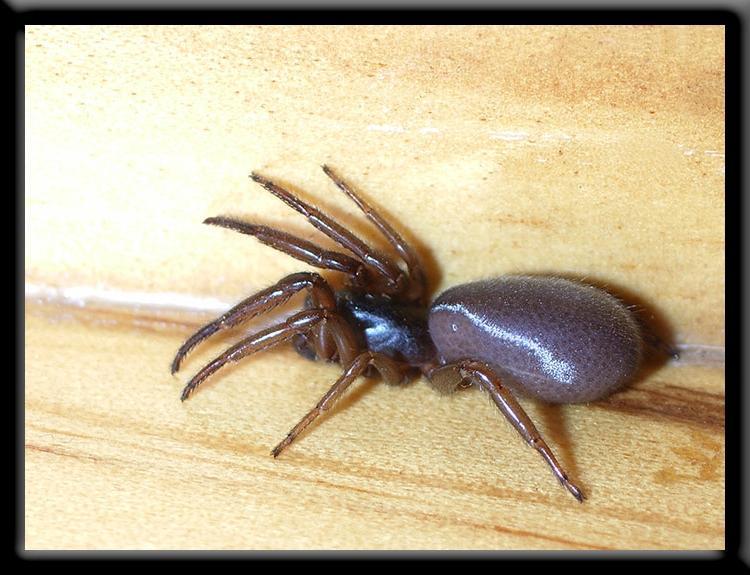 Australian house spider