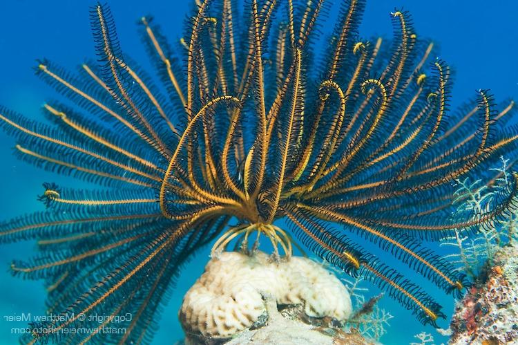 Paradise House Reef, Taveuni, Fiji; a yellow and black feather...