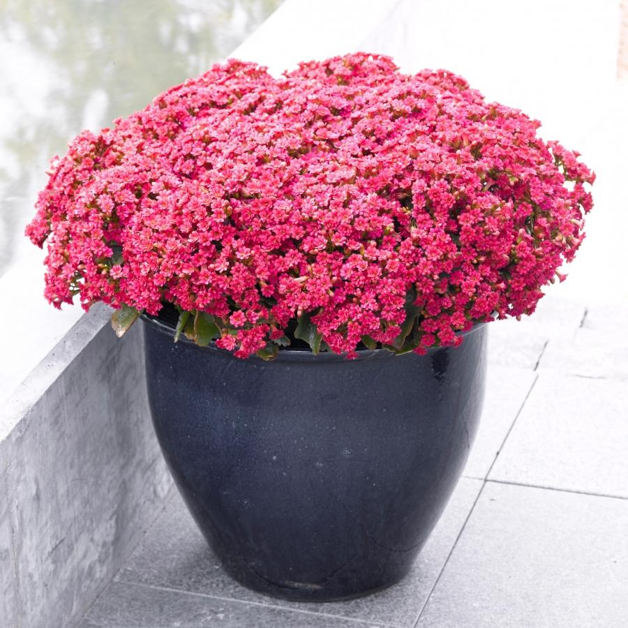 Kalanchoe Queen Outdoor August filled with flowers u2013 photo:...