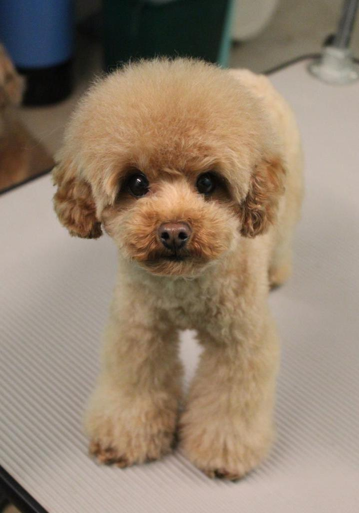 Show Poodle Grooming Photos
