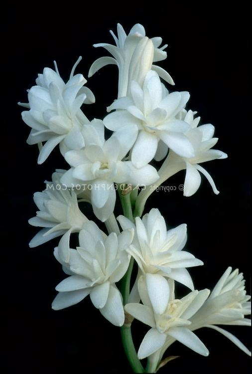 Tuberose Flower Photo