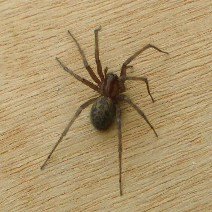 Common house spider photo