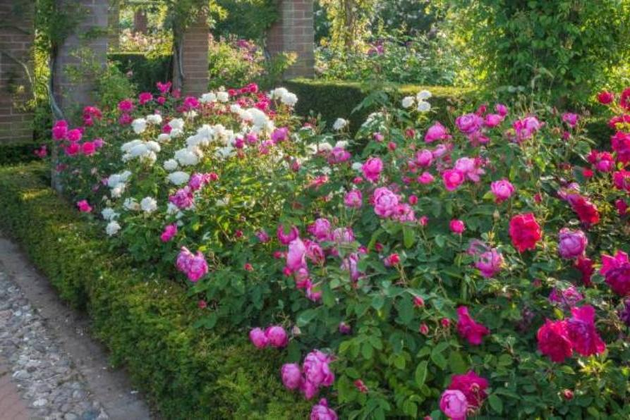 Beautiful Garden Design English Rose With Boxwood Hedges