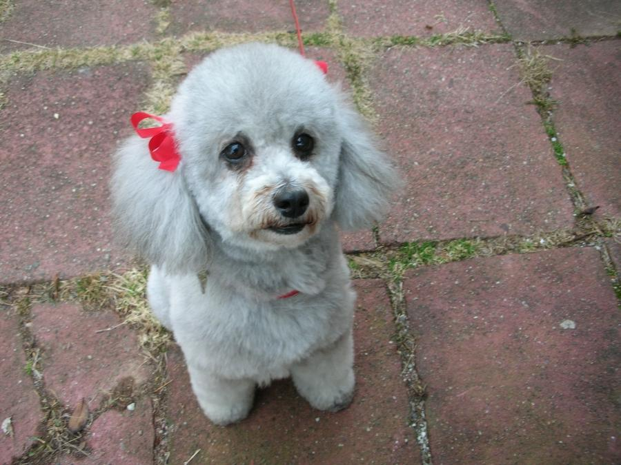 Poodle Haircut Photos Grooming