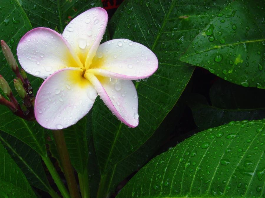 Hawaiian flowers names