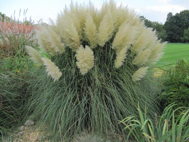 Ornamental grass garden photos for Ornamental grasses with plumes