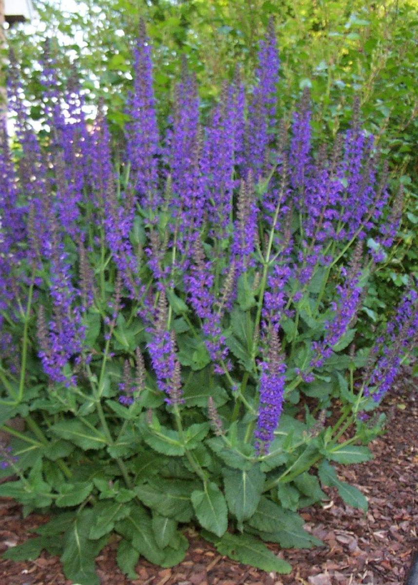 Purple Perennial Flowers Photos