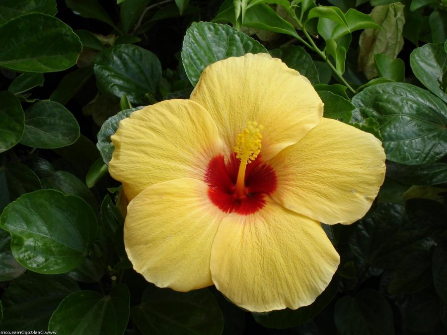 ... Yellow Tropical Flower ...