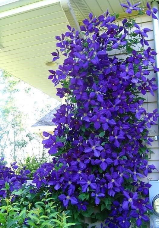 Purple Blooming Perennials Flower Photos