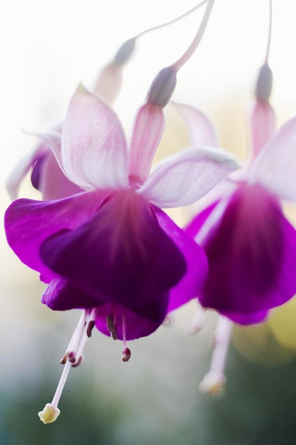 Photos Of Fuschia Flowers