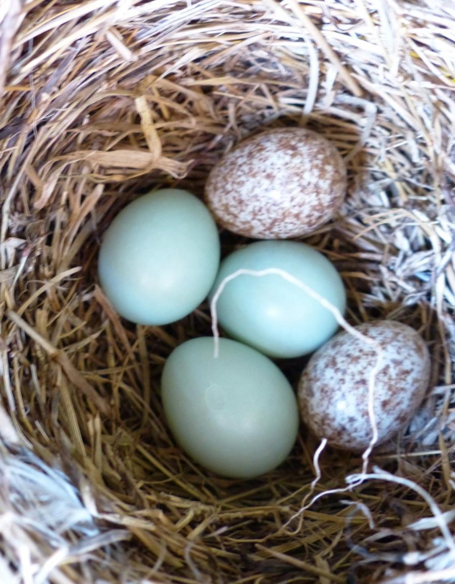 House Wren Egg Photo