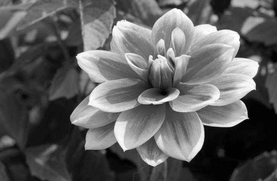 ... Dahlia flower photography art print in black  white ...