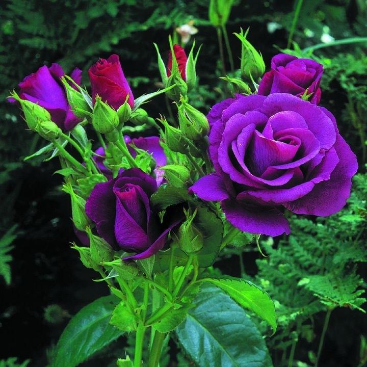 Сажанці роз по 25грн купити