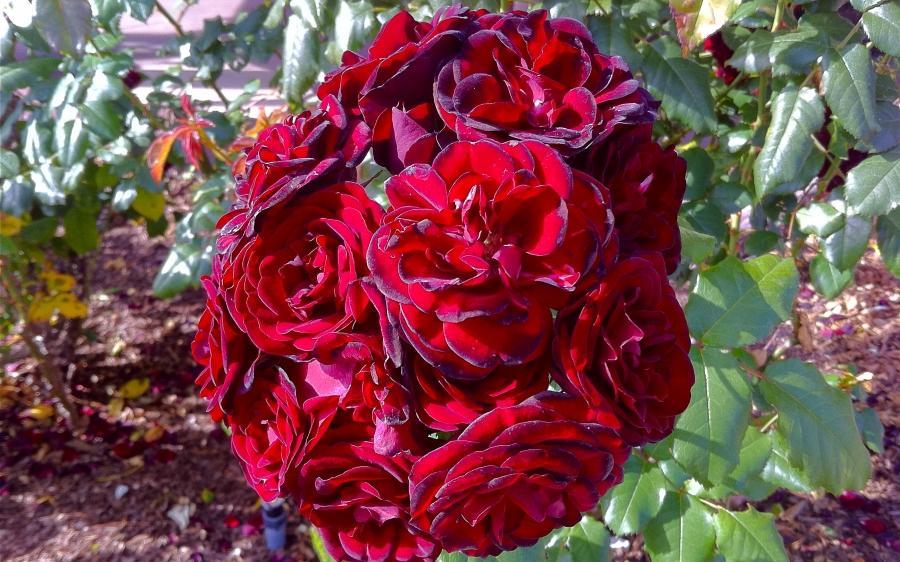 Photos Of Rose Garden