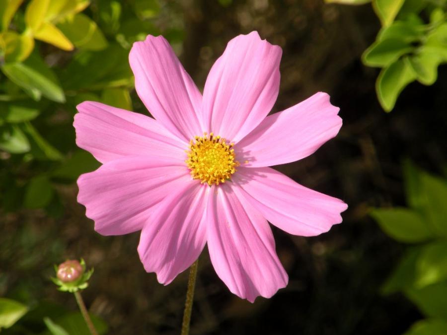 Coreopsis Flowers Photos