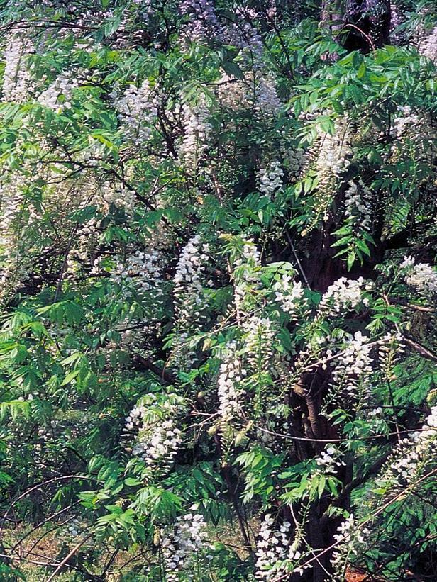 Garden Bush: Fragrant House Photo Plant