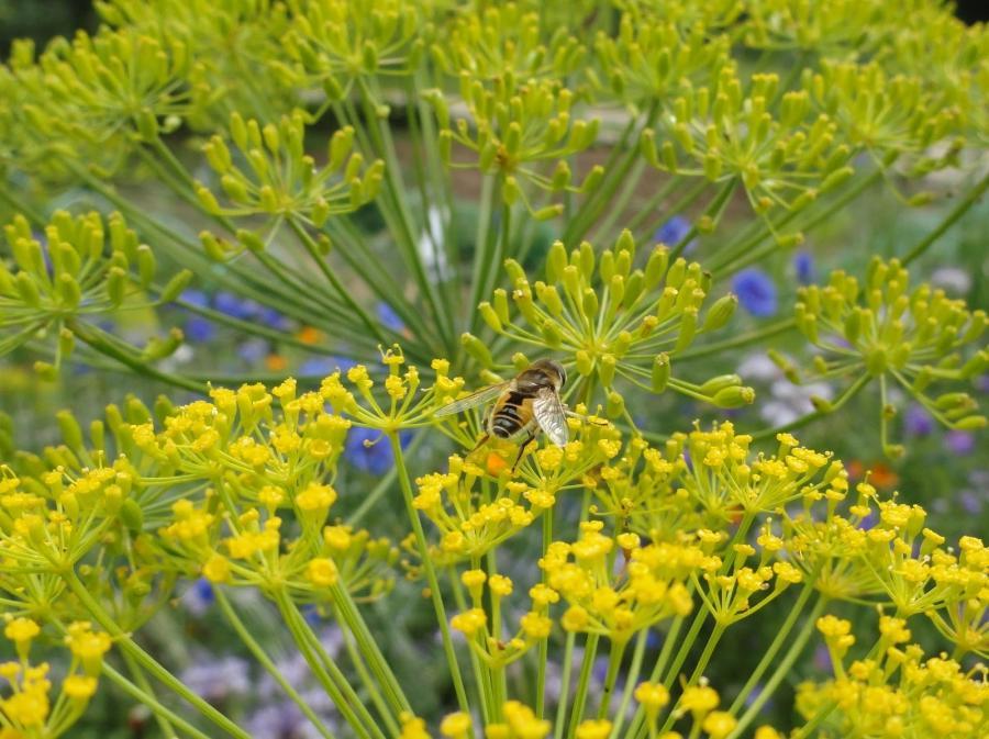 dill flower photos
