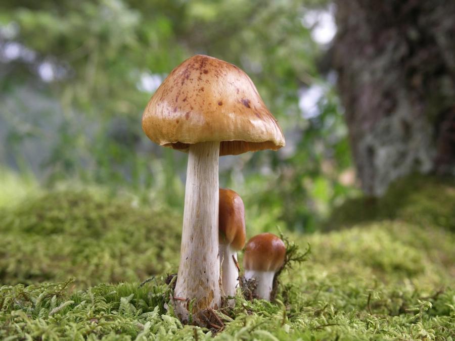 Long time cock mushroom cap something
