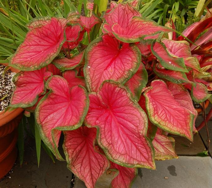 Каладиум цветок