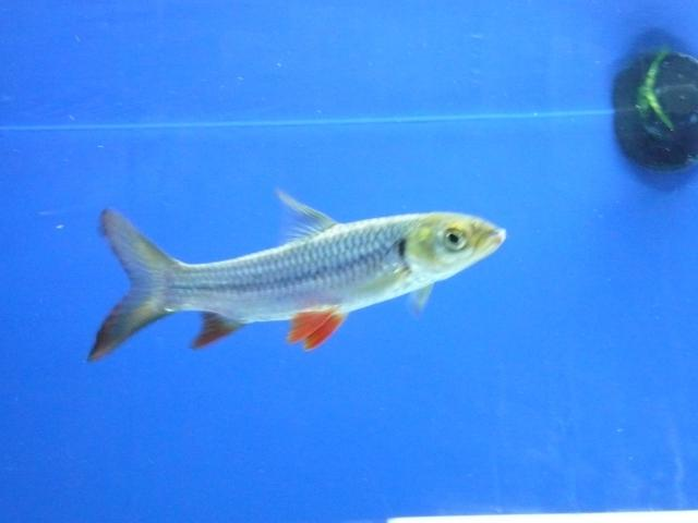 Freshwater Aquarium: fish, kind of fish, fishbase source