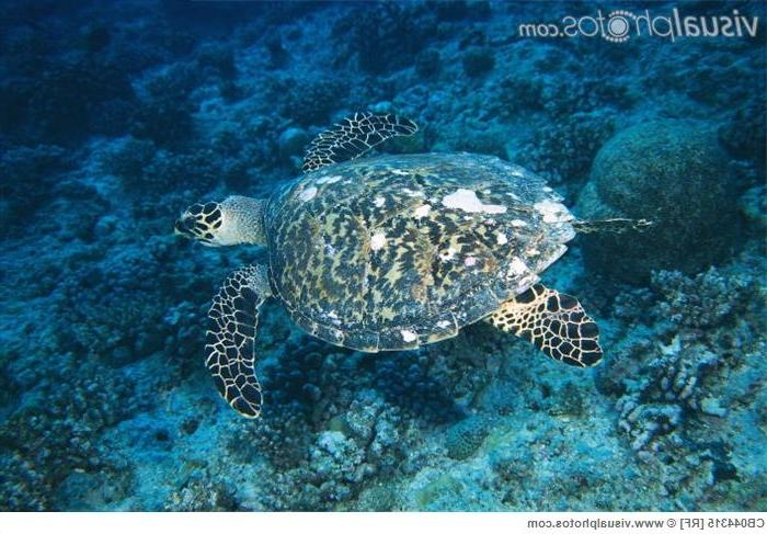 Hawksbill Turtle skims the coral-covered sea floor.