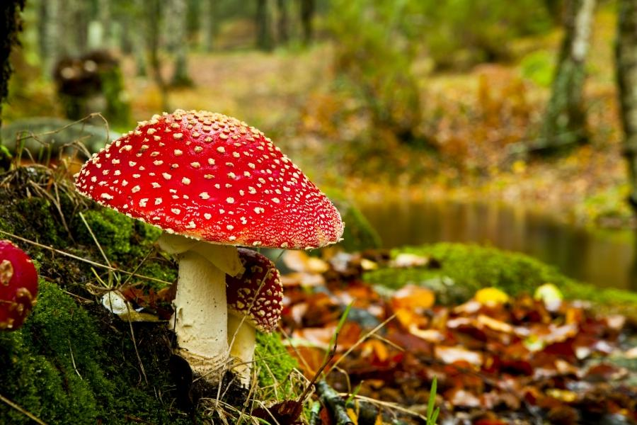 autumn-wallpaper-with-red-mushroom-in-forest