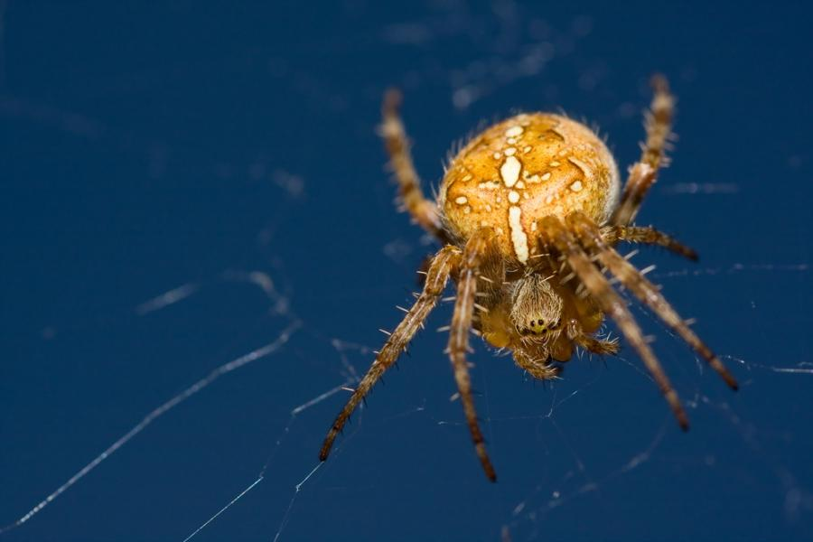 Garden orb spider photo
