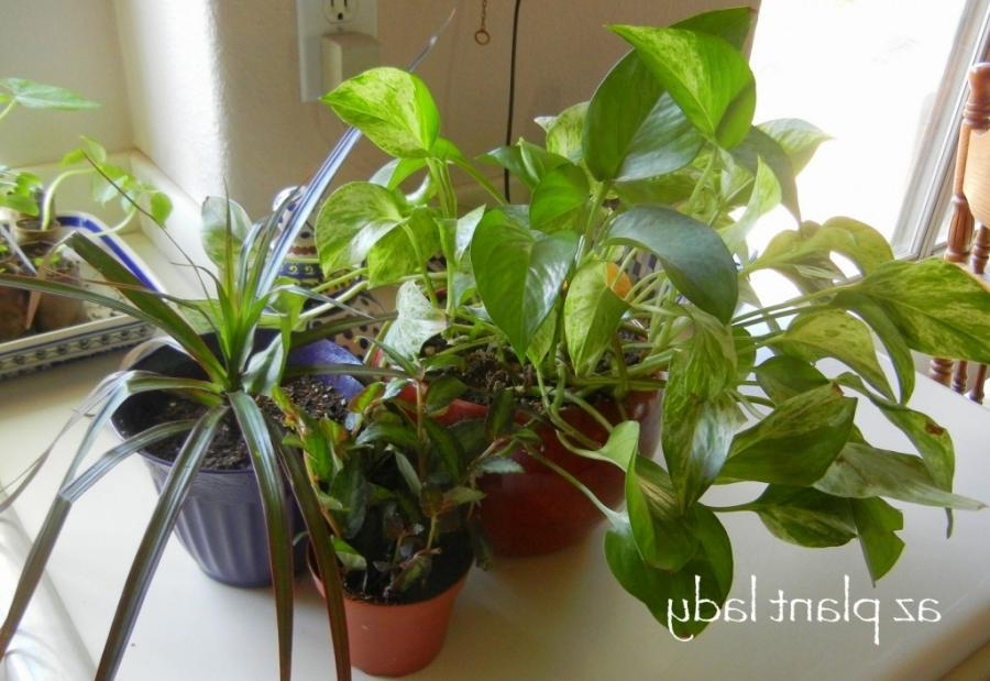 Common house plants 28 images attractive house plants 2015 common house plants the most - Most popular house plants ...